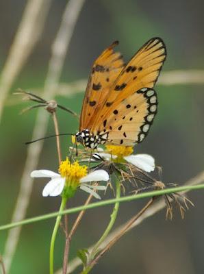 Tawny Coster (Acraea violae)