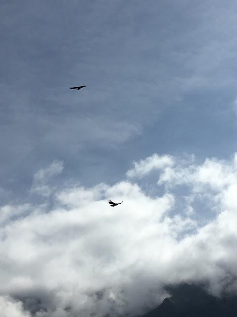 condors circling over Colca Canyon, Peru