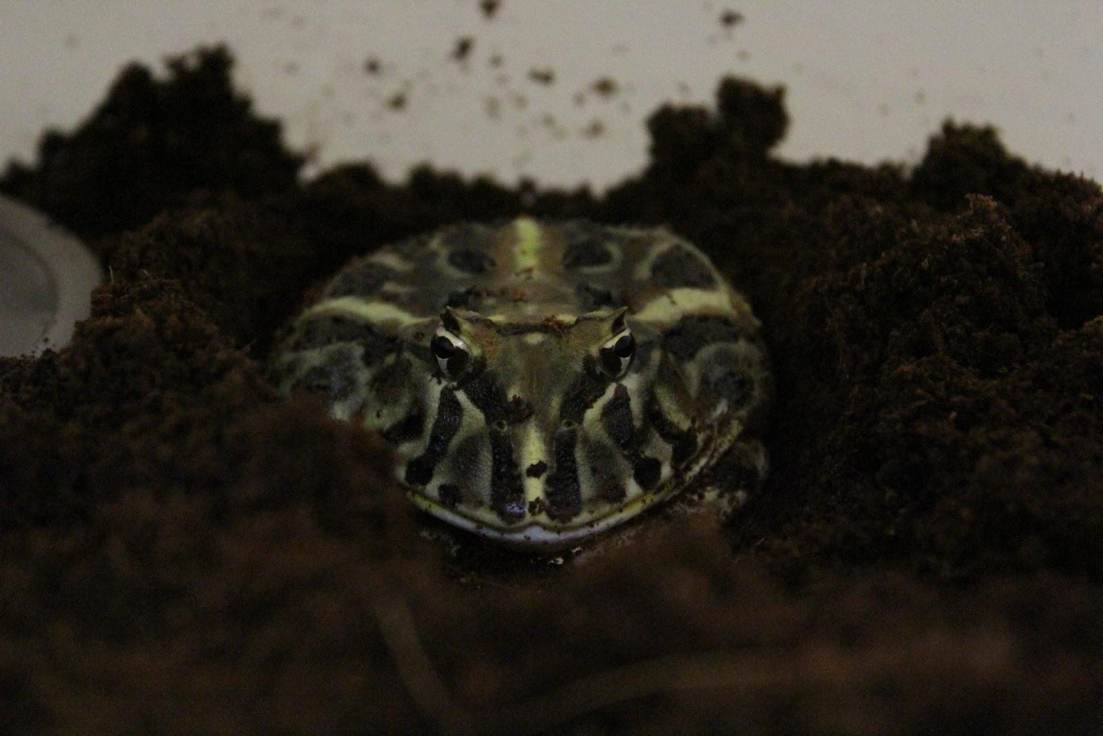 角蛙拓也~角蛙~日本蘭壽~土佐金: 角蛙飼養之土養篇