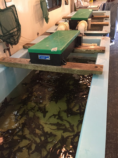 Sturgeon in rearing tanks at Riveredge Nature Center