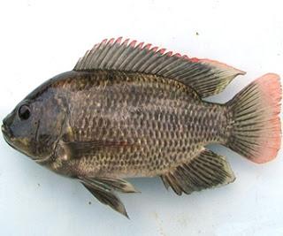Ikan Mujair - cianjurupdate