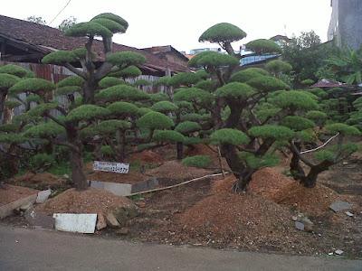 http://tipspetani.blogspot.com/2018/03/panduan-sukses-merawat-tanaman-cemara.html