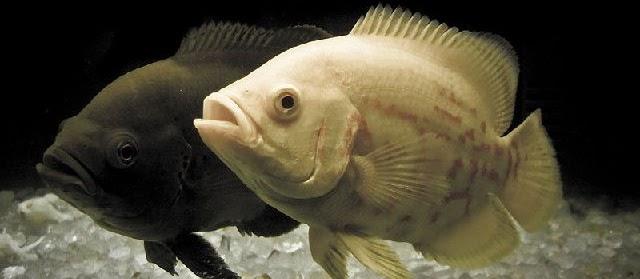 Gambar Ikan Oscar Tercantik Harga Mahal