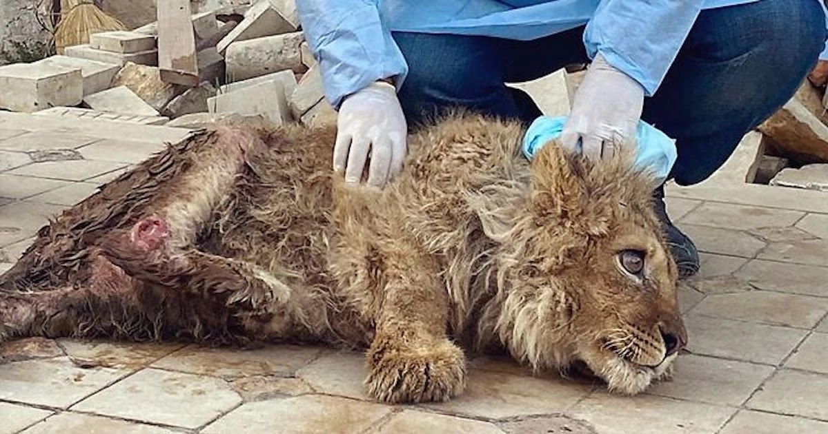 A Photographer Broke A Lion Cub's Legs So He Would Pose For Selfies With Tourists