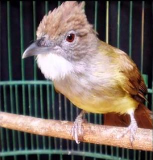 Cara perawatan burung cucak jenggot mabung