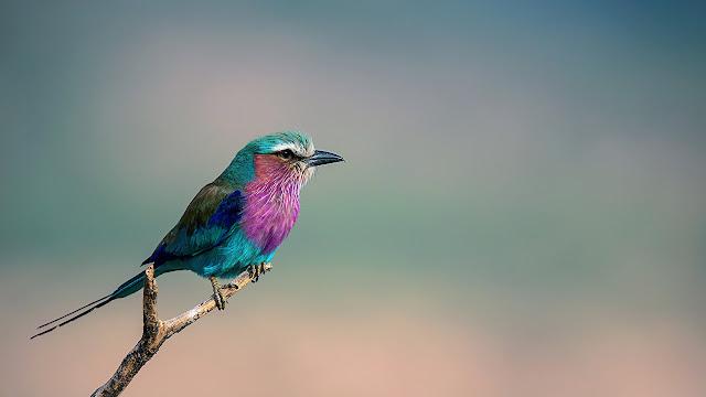 世界で最も美しい鳥?14色に輝く、ライラックニシブッポウソウ【n】