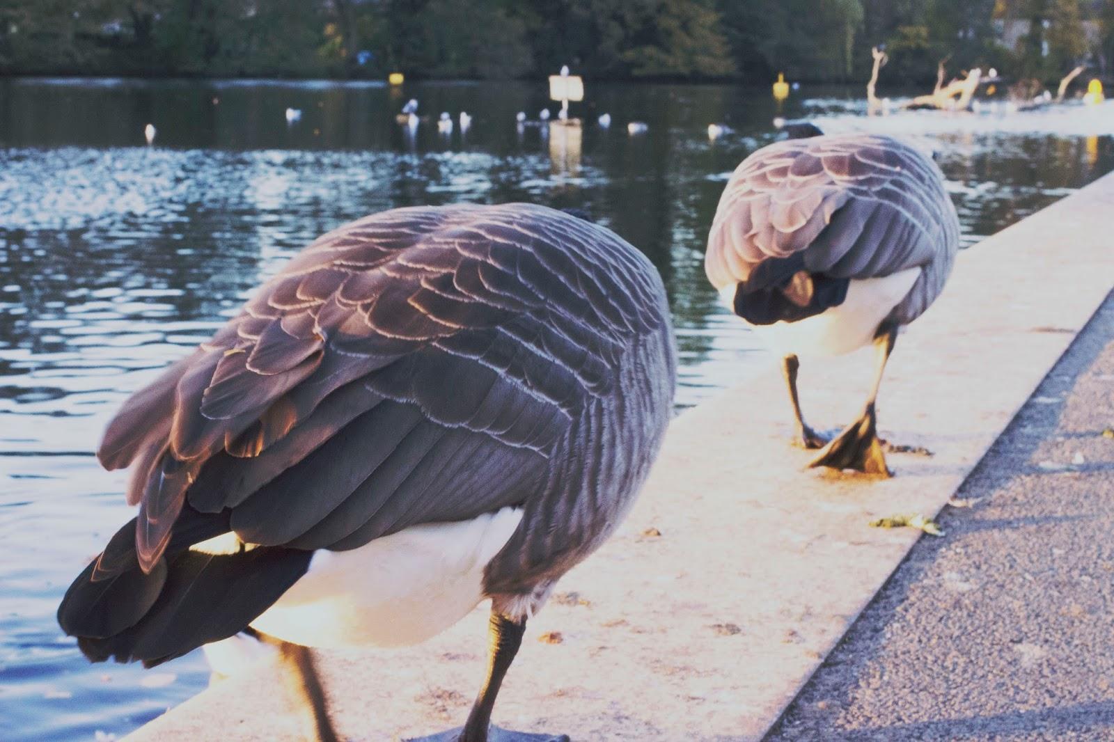 Geese, Birds, Belper River Gardens, Katie Writes,