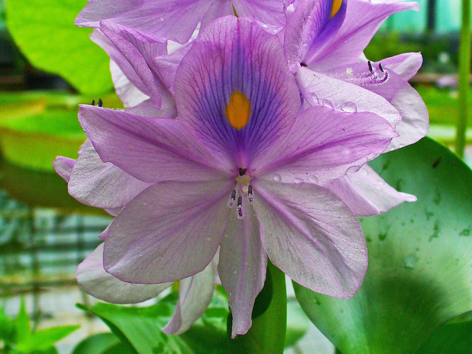 reproduccion de peces ornamentales peces y plantas ornamentales eichhornia crassipes