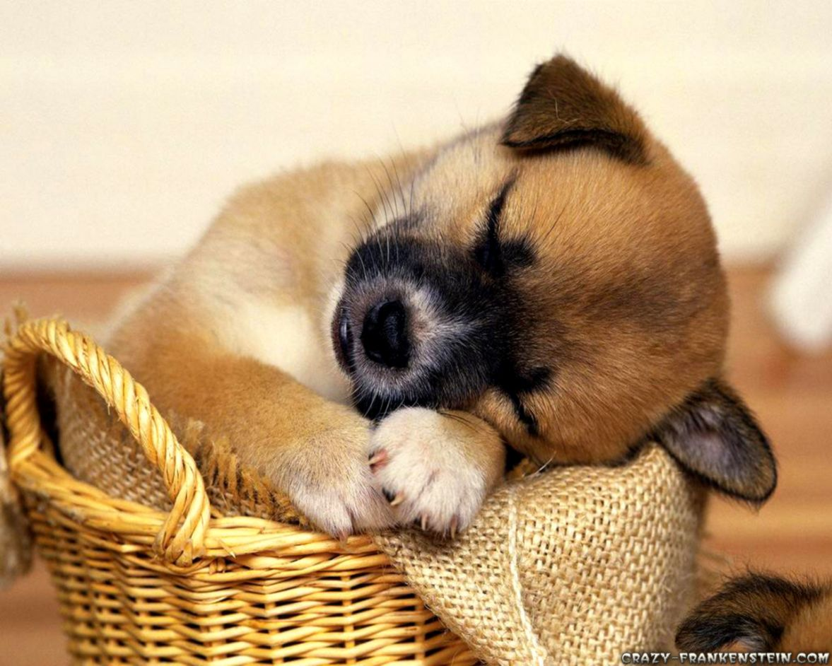 cute sleeping puppy animal