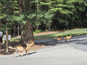 dog chasing chickens