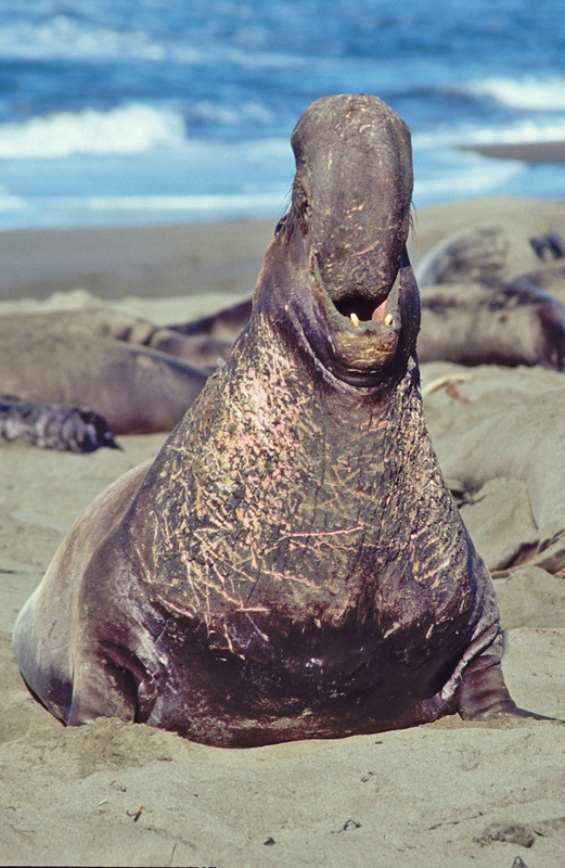 Funny Animals Funny Pictures Elephant Seal Bull Funny Photo