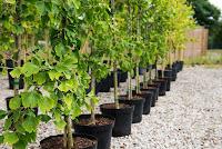 Mabet ağacının etken maddesi milyonlarca yıldır tedavide kullanılıyor
