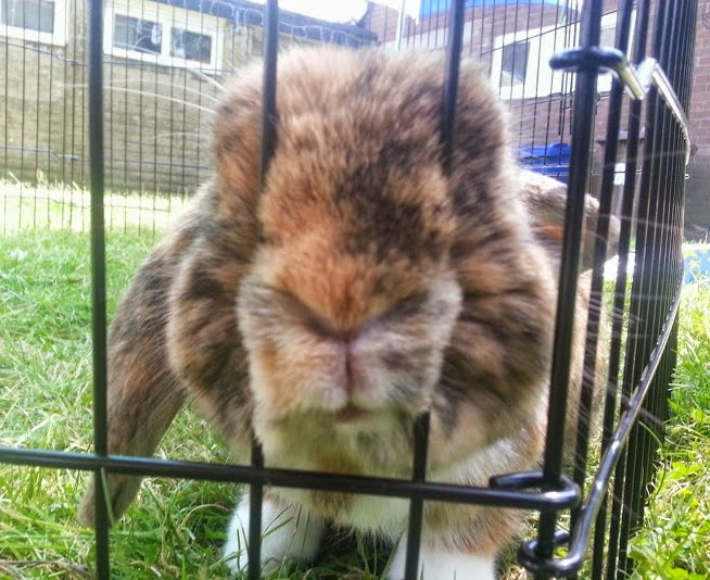 Barny Bear's Little Adventure - Rabbit poking nose through bars of run in garden