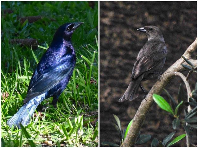 El tordo macho es negro azulado y la hembra color pardo - Chacra Educativa Santa Lucía