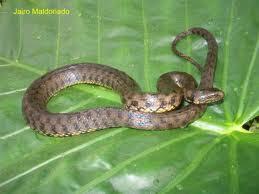 reptiles de argentina Culebra acuática overa Helicops leopardinus