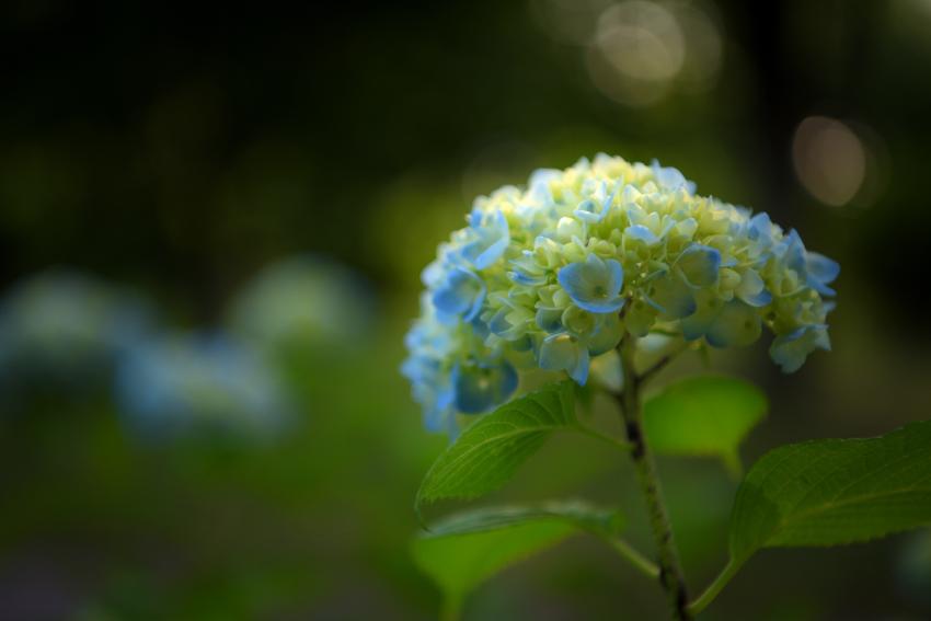 大乗寺丘陵公園の紫陽花