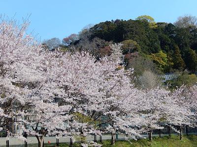 鎌倉青少年会館の桜