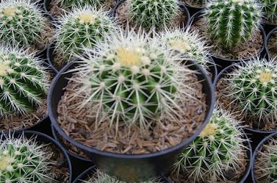 Cara Budidaya Tanaman Kaktus