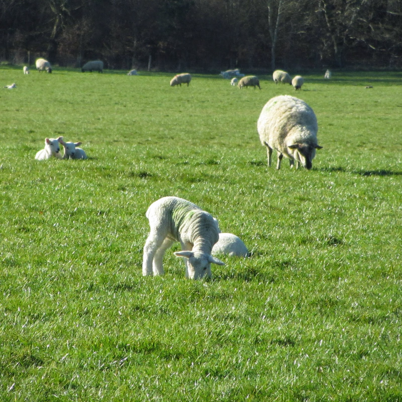 Lambs in springtime
