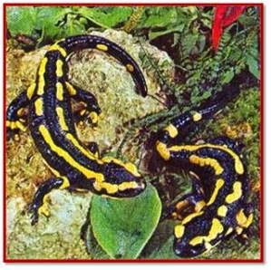 Salamandra gigante china reproduccion asexual de las plantas
