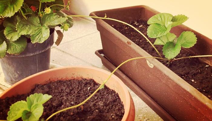 Como plantar semillas de fresas