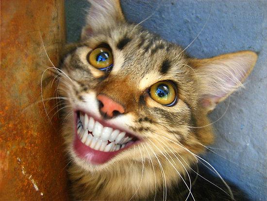 Cute Wallpapers Cute Wallpapers Hd Animals Cat Smiling Teeth