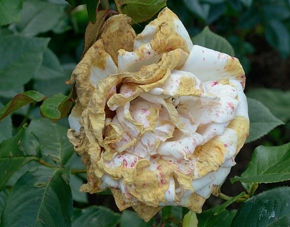 Серая гниль - Botritys cinerea способы борьбы на розах препараты химия