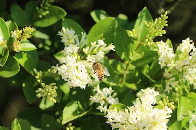 cara menghilangkan kutil di badan dengan propolis lebah
