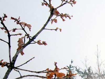 カシワの冬芽