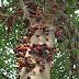 Ara - Pokok Terpinggir Yang Banyak Manfaat