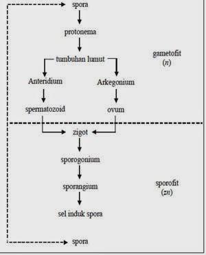 Jelaskan Daur Hidup Tumbuhan Lumut : jelaskan, hidup, tumbuhan, lumut, Penjelasan, Tumbuhan, Thallophyta, (Hepaticae, Musci), Materi, Online