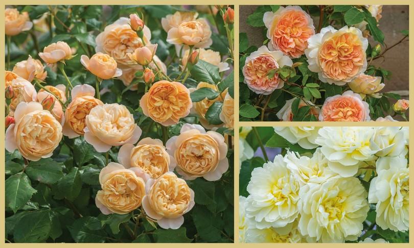 Rosas David Austin Chelsea Flower Show 2016