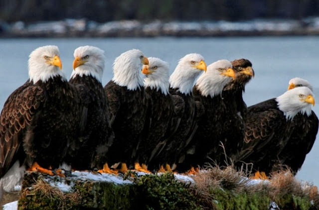 Virginia's bald eagles thriving at a never before seen level after pesticides ban.