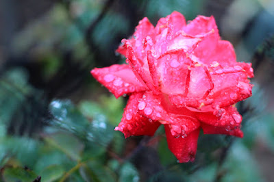 Rose in the Rain - Flower Photography by Mademoiselle Mermaid
