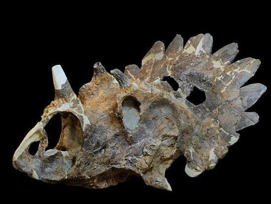 Nova espécie de dinossauro - Crânio de Regaliceratops peterhewsi