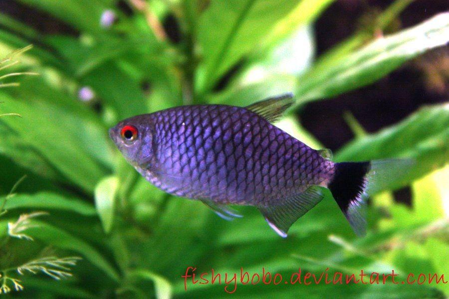 Gambar Lihat Kecantikan Dan Cara Merawat Ikan Hias Red Eye Tetra