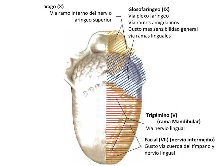 FCM-UNAH Anatomía Macroscópica: Inervación de la Lengua