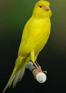 Burung Kenari Berner