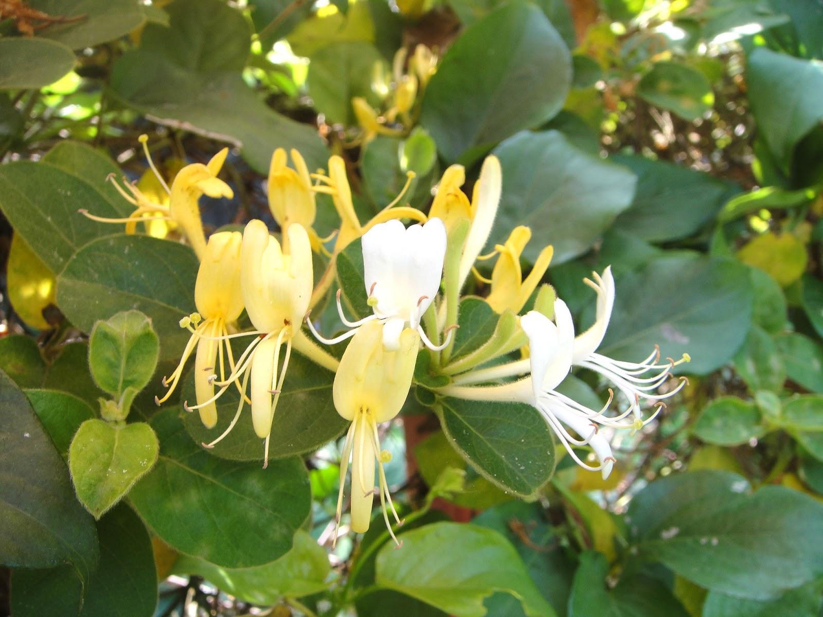 DWAN雲之端: 金銀花-金銀花因花初開時是銀白色, 凋謝前轉為金黃色, 因而得名『金銀花』。-金銀花的兒歌 ...