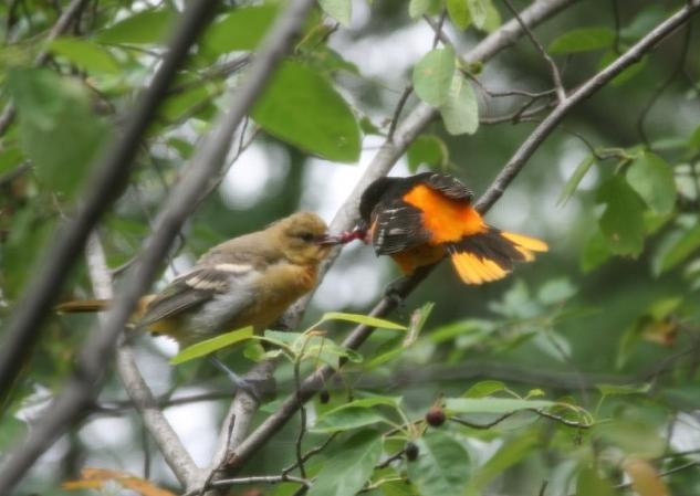 Wild Birds Unlimited Baltimore Orioles Birds Baby Food
