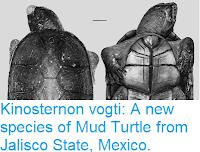 https://sciencythoughts.blogspot.com/2018/08/kinosternon-vogti-new-species-of-mud.html