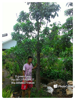 Kami tukang Taman menjual pohon baobab, tambleg, kaki gajah, adansonia dengan harga paling murah di Jakarta, kebayoran, kemang bangka, mampang, pasar minggu, Bogor, Depok, Kuningan ,Jakarta Selatan, Jakarta Utara, Jakarta Timur, Jakarta barat