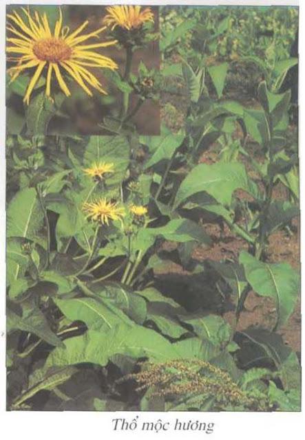 Thổ Mộc Hương - Inula helenium - Nguyên liệu làm thuốc Chữa Bệnh Tiêu Hóa