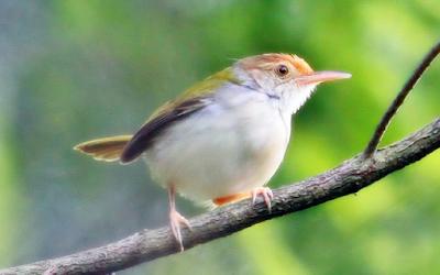 burung perenjak