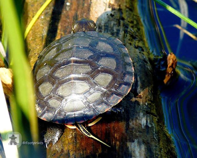 Versteckt im Schilf liegt hier zwischen rosa bluehendem Sumpfgras eine kleine painted Turtle, die sich auf einem Stueck Holz sonnt