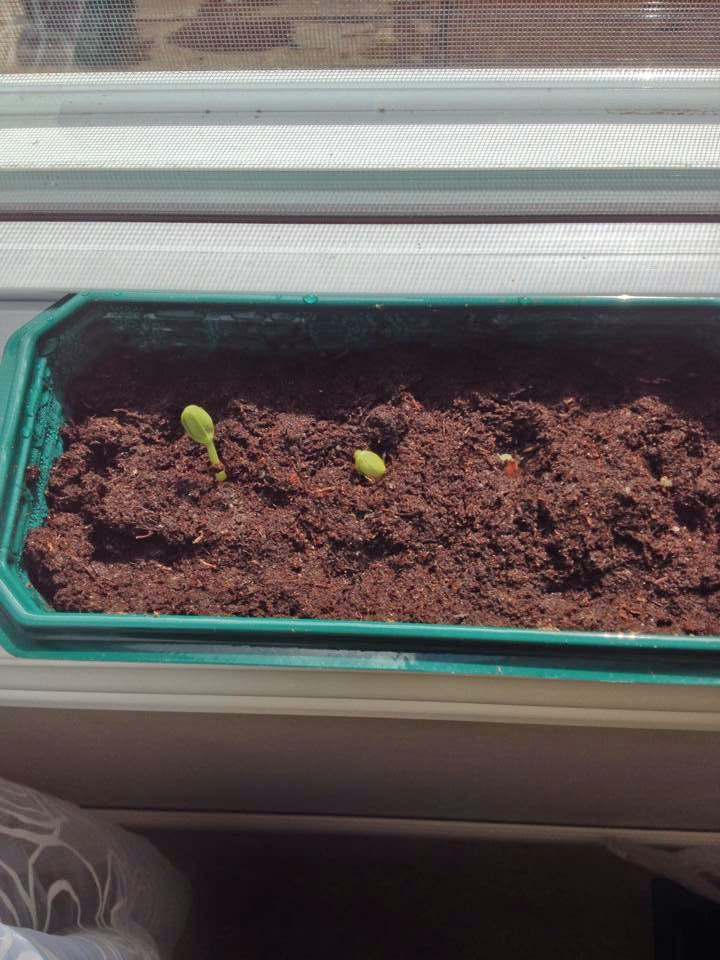 gardening, growing watermelon, sprouts, indoor seedlings
