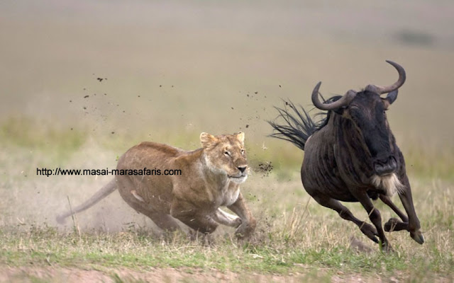 Masai Mara National Park Wild Animals Lion Hunting 2