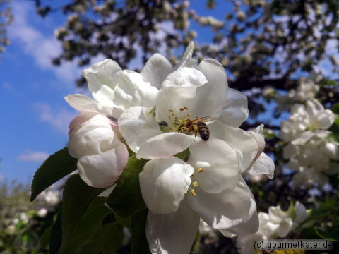 Apfel mit Biene