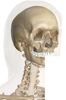 Los huesos de la cabeza y cuello