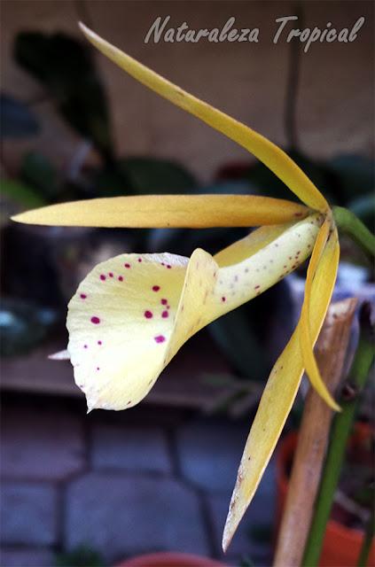 Variedad híbrida amarilla con manchas de una orquídea del género Brassavola